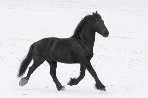 Friese | Friesian horse