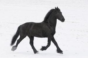 Friese | Friesian horse